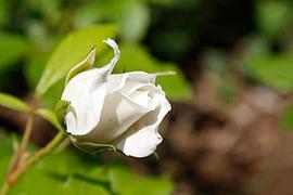 090510_rose